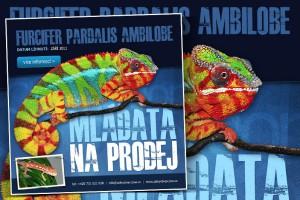 Inzerce pro prodej chameleonů